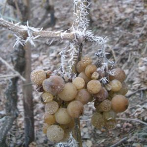 frozen Riesling cluster at Dr. Loosen