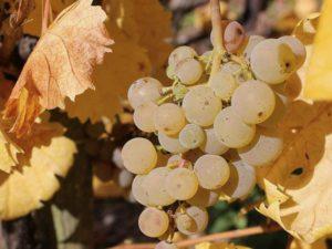 Riesling cluster in Erdener Prälat vineyard